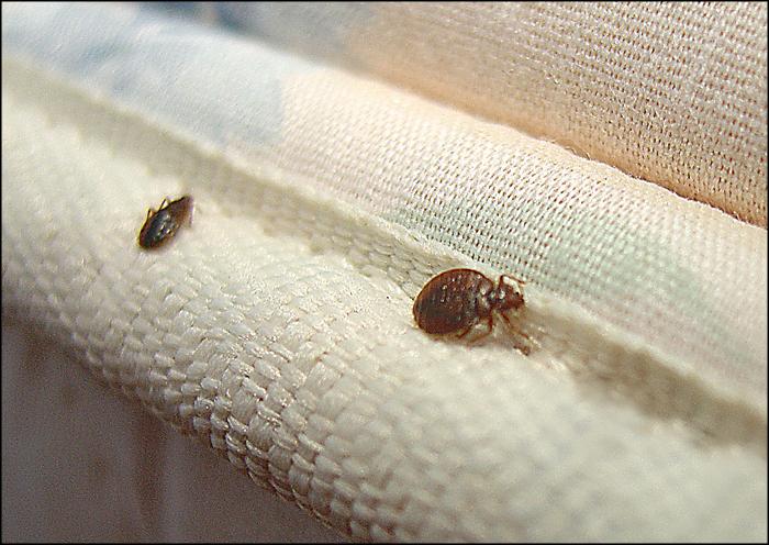 bed-bugs-infestation